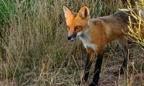 Contre les battues aux renards à Oye Plage et ailleurs !