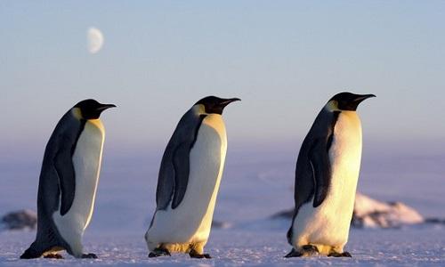 La disparition des manchots dans l'Antarctique
