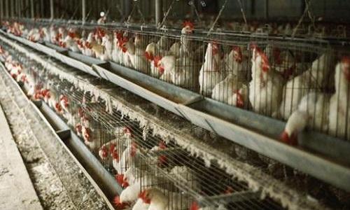 Interdiction de l'élevage des poules en batterie !