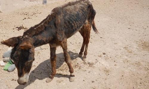 Le transfert des ânes et mulets dans un refuge