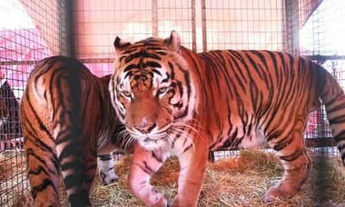 Interdiction des cirques avec animaux dans toute l'agglomération de Brive