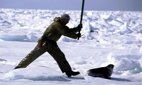 Honte au Canada pour les tueries de phoques !