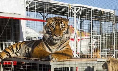 Pétition : Stop aux cirques avec animaux à Brie Comte Robert (77)