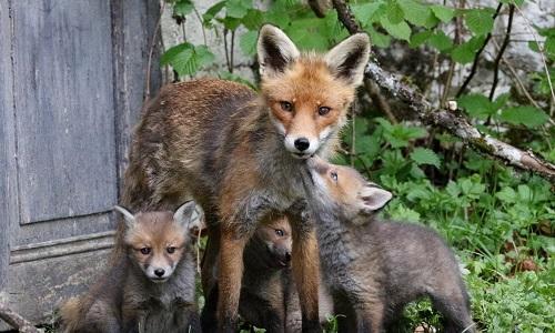 Ne pas tuer la renarde et ses deux renardeaux !