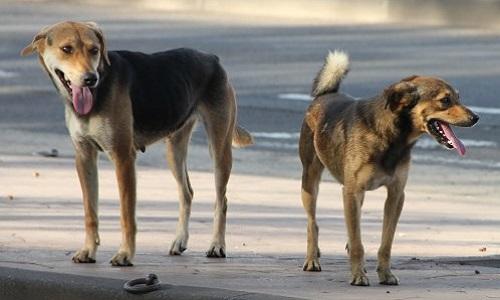 Pétition : La mise hors d'état de nuire des chiens errants du quartier