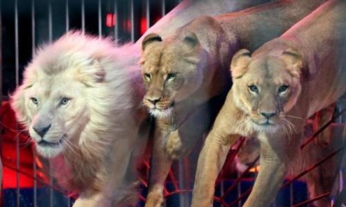 Stop aux animaux dans les cirques