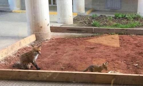 Pétition : Pour que la famille de renards de Liège soit relâchée dans un endroit sécurisé sans chasseur