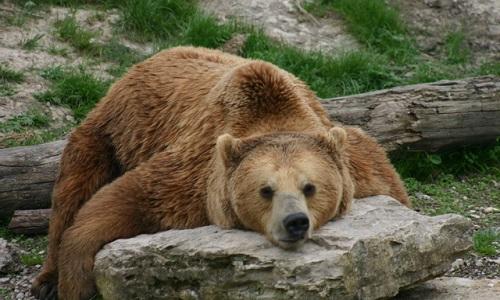 Pour la réintroduction de grands rapaces et d'ours dans le massif du Pilat