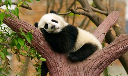 Non au massacre des pandas !