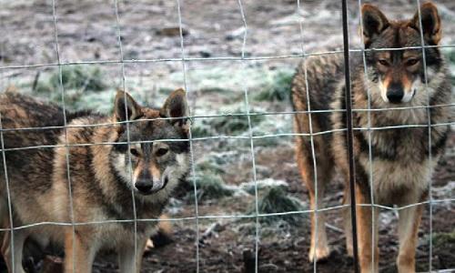 La fermeture du cirque avec les loups !