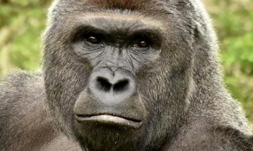 Pétition : Sanction pour la tuerie du gorille !