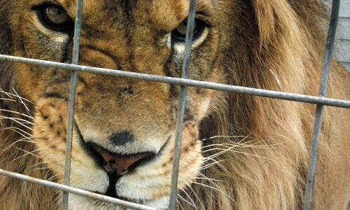 NON au Lion en cage dans les studios NRJ !