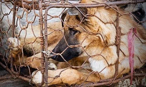 Pétition : Sauvons les chiens de Chine du massacre !