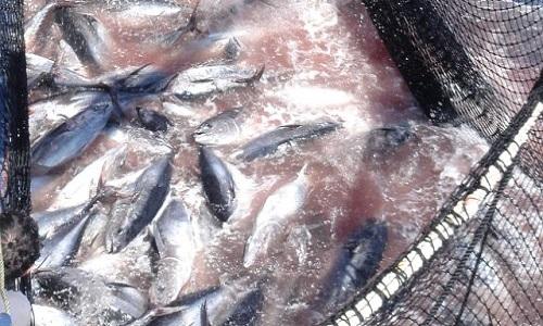 Sauvons les thons rouges en Méditérrannée