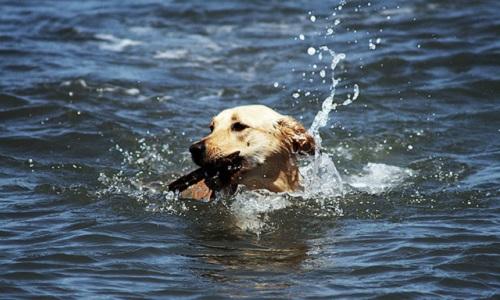 Pour la baignade des chiens dans les plans d'eau.