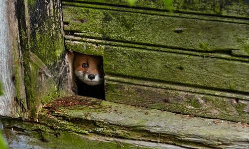 Pétition : La suppression de la chasse de nuit visant à éliminer les renards