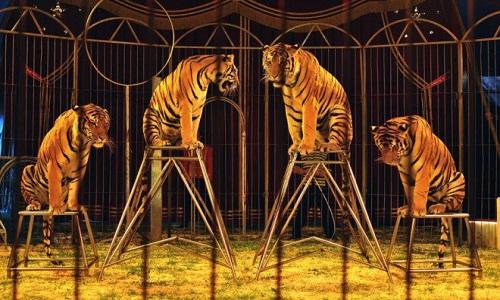 Interdiction des cirques avec animaux.