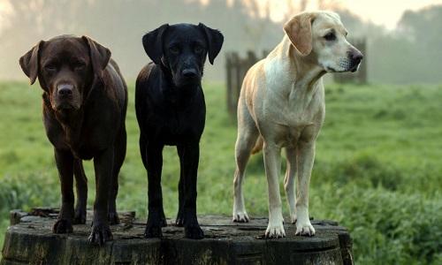 Restitution de 3 chiens à la dame canadienne d'une vidéo sur Faceboock