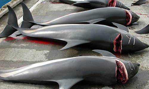 Pour l'arrêt total de ce massacre de dauphins !
