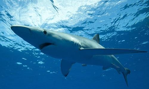 Faire interdire l'utilisation du foie de requin dans les cosmétiques