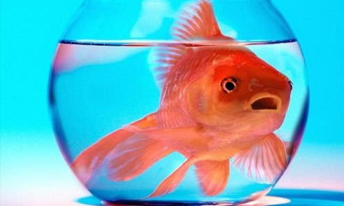 Non au bocal à poisson !