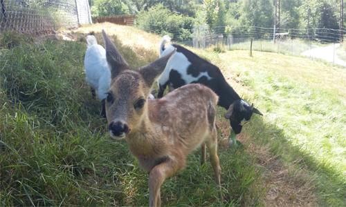SOS Bambi, notre petit chevreuil