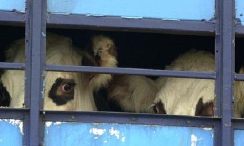 Établir une loi contre l'abbattage rituel des animaux en France