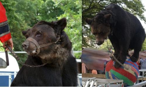 Soutien à Envronville, qui a annulé la venue de l'ours Micha des Poliakov en 2015