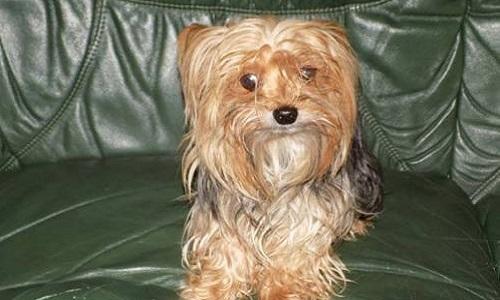 Recherche notre petite Yorkshire Terrier tatouée s'appelant Emi