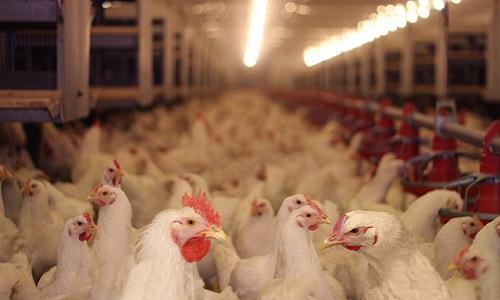 Stop au poulet au chlore en Nouvelle-Calédonie