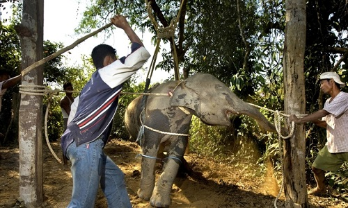 Pour arrêter la maltraitance des éléphants