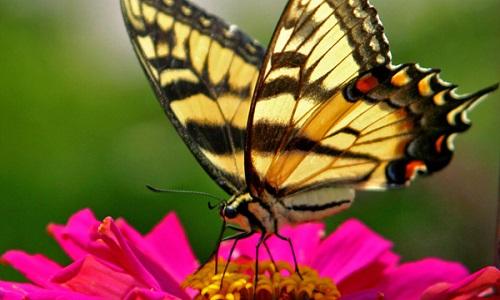 Extermination des papillons en France