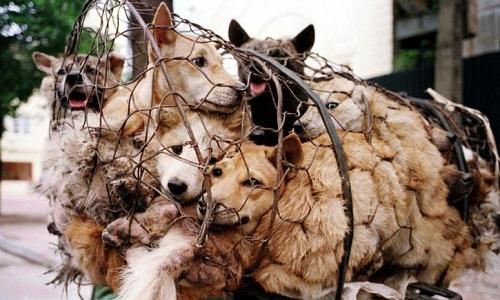 Arrêtez le massacre des chiens et chats en Chine