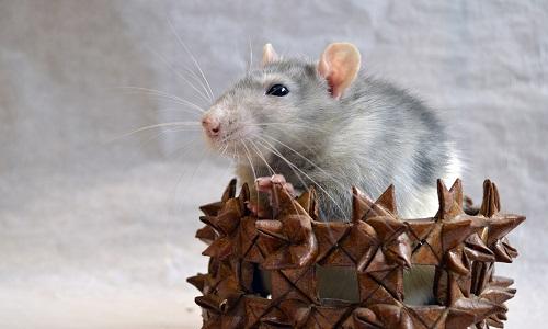 Vers une interdiction des raticides, qui sont dangereux pour l'environnement, les enfants et les animaux domestiques