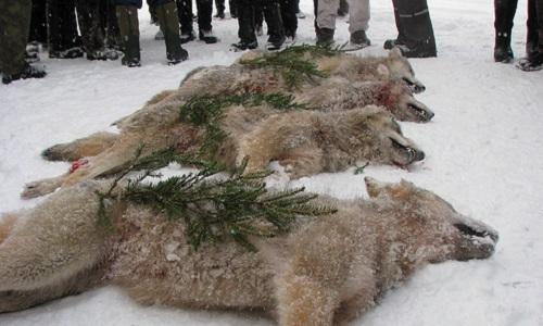 Pétition : Contre la chasse au loup