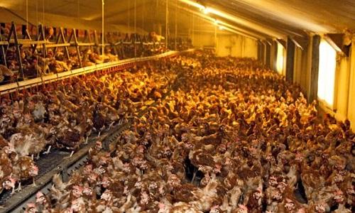 Non à l'élevage industriel de poulets à Fleury-la-tour dans la Nièvre !
