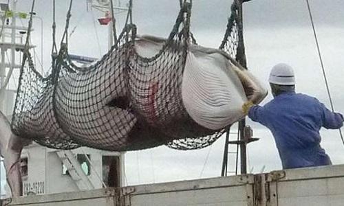 Pétition : Norvégiens! Stop au veto sur le sanctuaire des baleines!