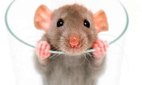 Dénoncer le Sadique Mourad Amidi (cruauté envers les rats)