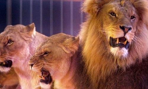 Non aux animaux dans les cirques!