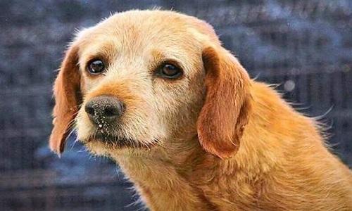 Vally, chien trauma de 14 ans , on me refuse une bonne famille expérimentée!