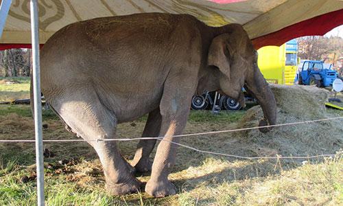 Pétition : Pour interdire l'exhibition de l'éléphante Maya à Clermont-Ferrand