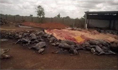 Stop à l'élimination massive des ânes au Burkina Faso