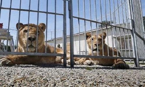 Non au cirque avec animaux sauvages à Buchelay !