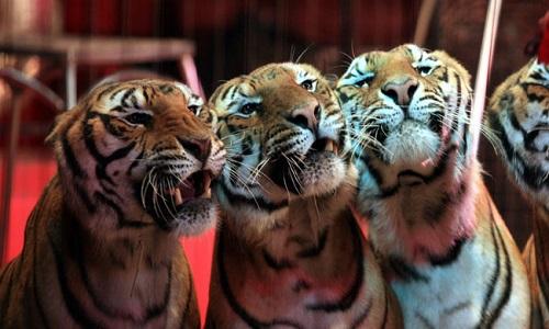 Non aux cirques avec animaux sauvages à Flins-sur-Seine !