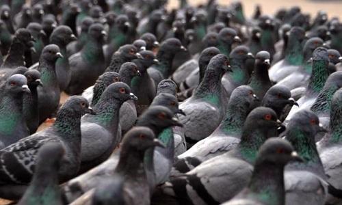 Sauve un pigeon