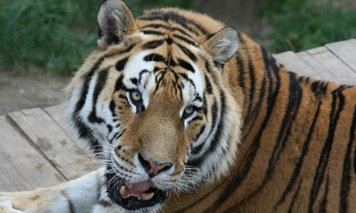 Pétition : La fin du business de l'aphrodisiaque sur les tigres