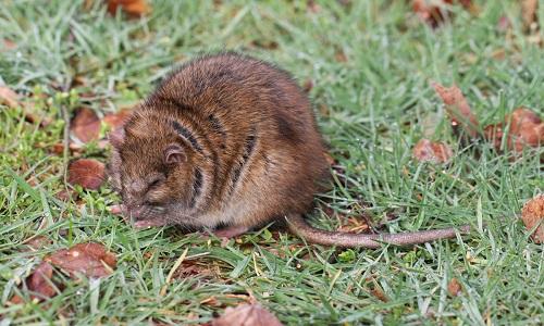 STOP à la chasse aux rats, des êtres vivants !