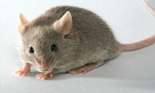 Pour l'ouverture de la Cour Européenne des droits des souris
