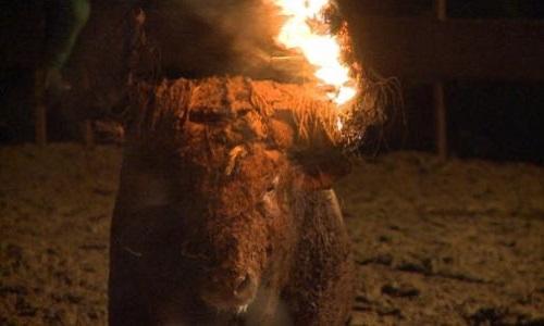 Abolir ces pratiques barbares sur les taureaux