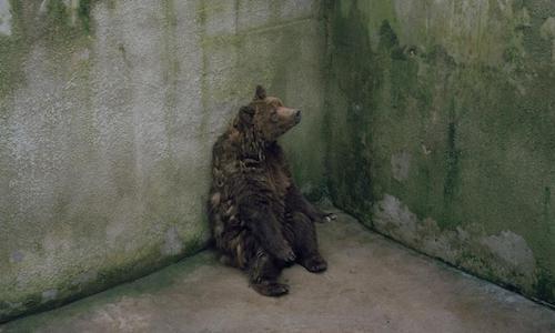 Libérez cet ours de sa prison !